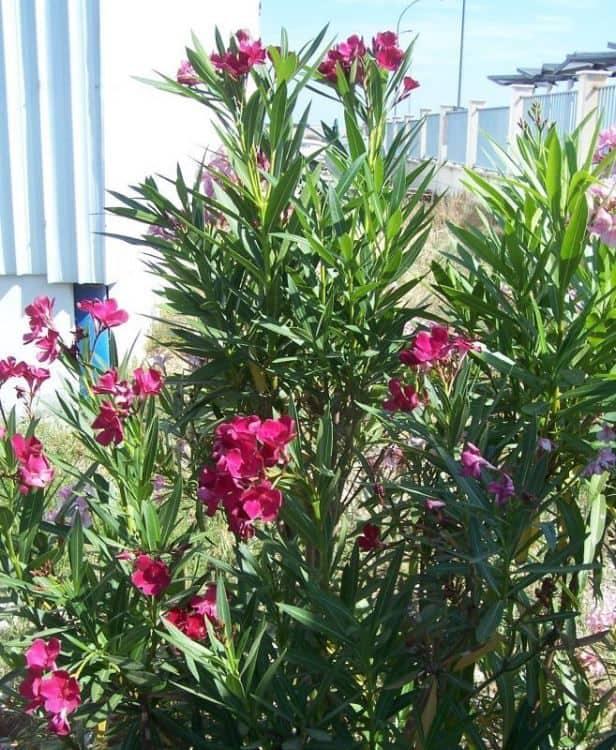 Oleander poisonous plant