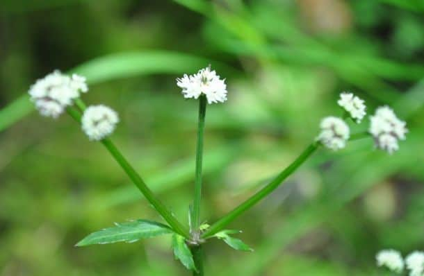 White Sanicle plant