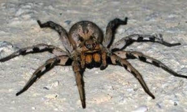 Brazilian wandering spiders