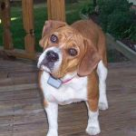 Beabull hybrid dog