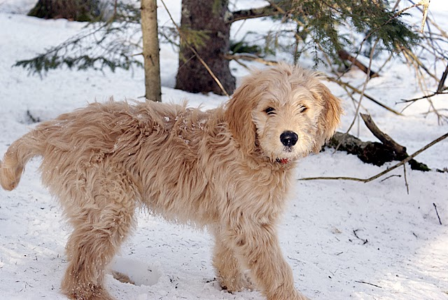 Goldendoodle hybrid dog