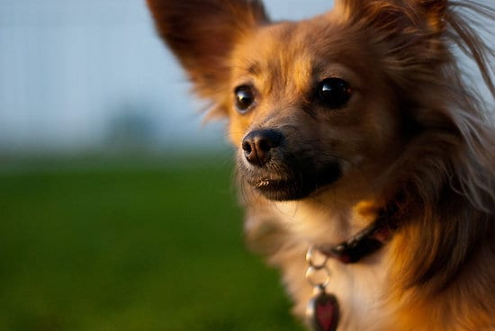 Pomchi mix breed dog