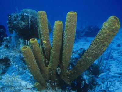 Sea Sponge (Porifera)