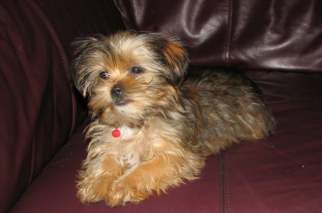 shorkie hybrid mix breed dog