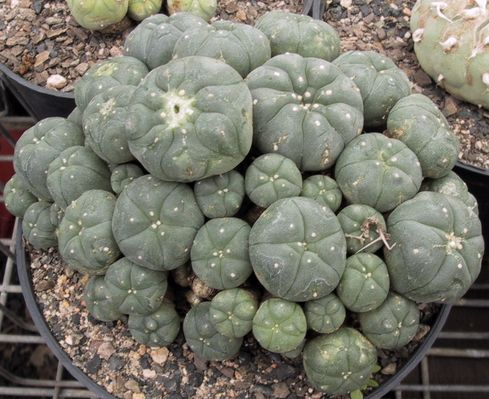 Peyote drugs