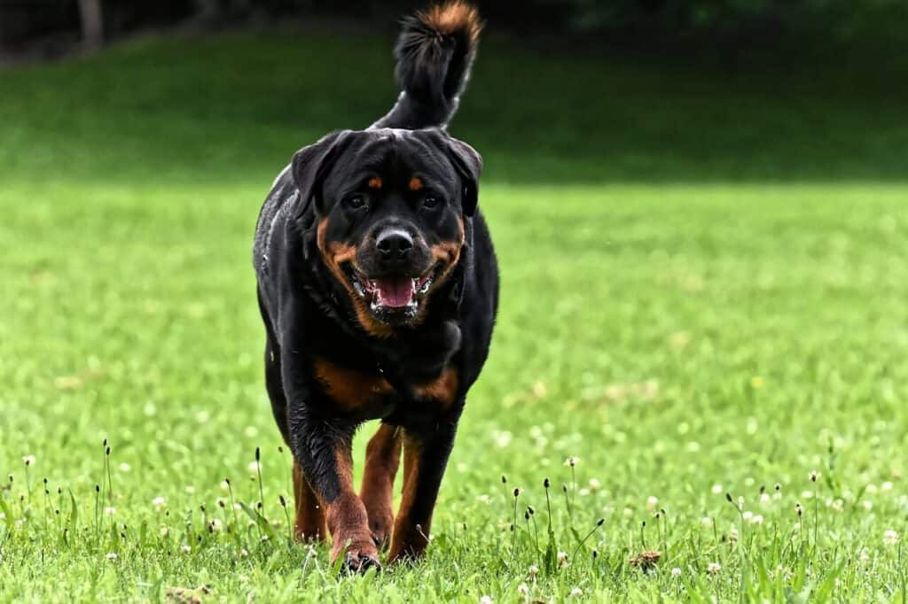 Best tricks to fix destructive chewing in Rottweilers