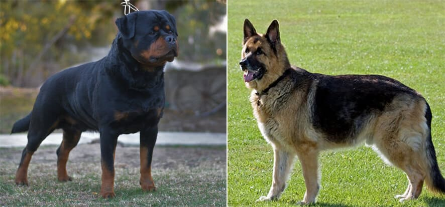 Height and weight of german shepherd rottweiler mix breed