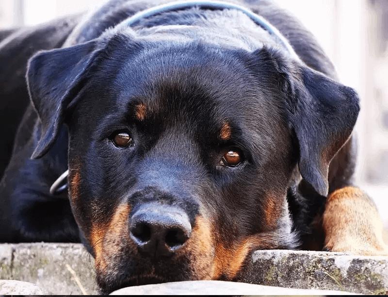 Rottweiler Best Guard Dog breeds