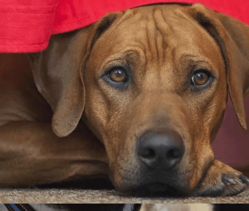 Best Guard Dogs breed Rhodesian Ridgeback