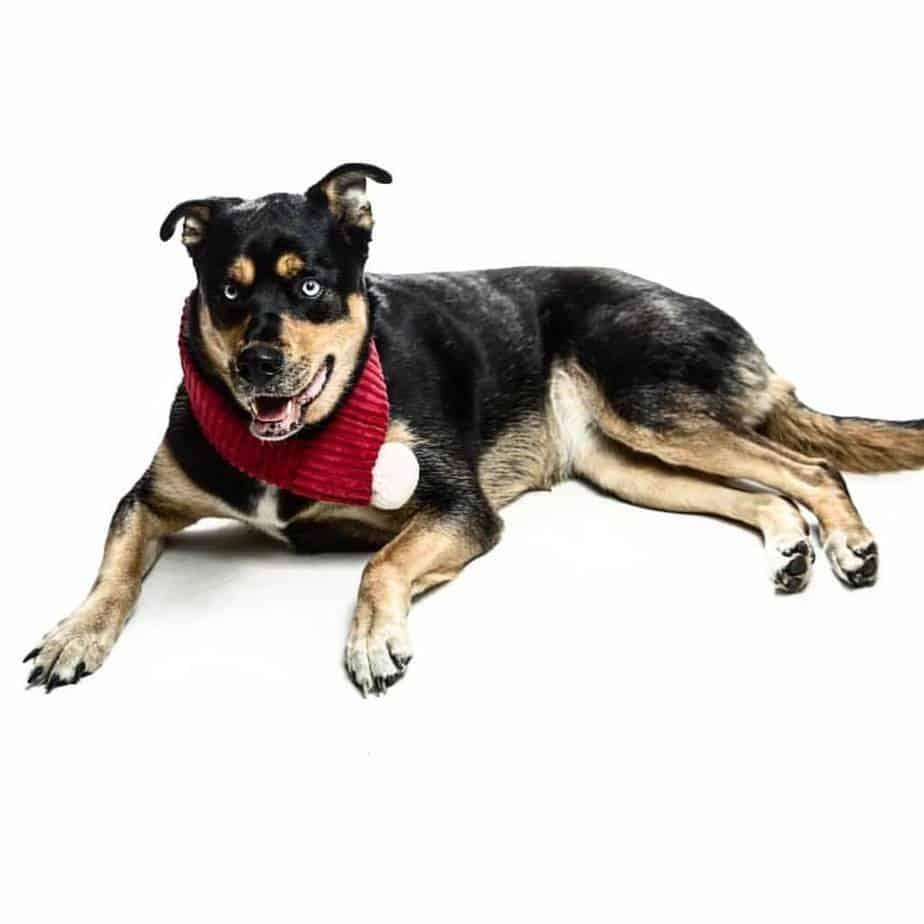 Rottweiler Husky Mix Dog Breed