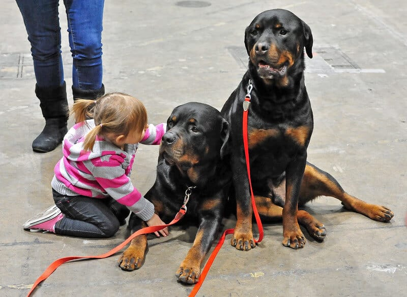 Male Or A Female Rottweiler Which One You Should Buy