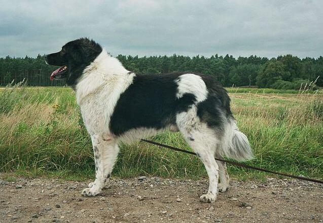 Karakachan Bear Dog Mountain Dog Breeds