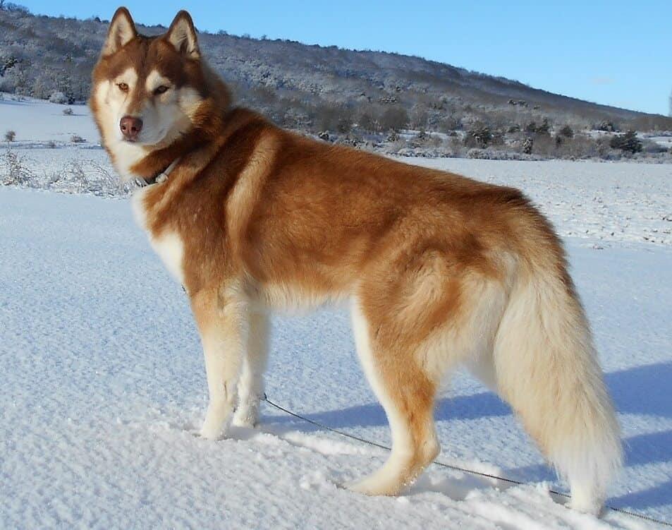 Siberian Husky Mountain Dog Breeds