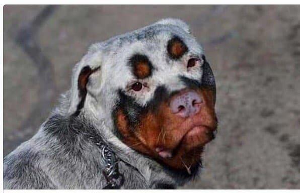 White Rottweiler dog