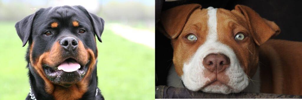 Pitbull vs Rottweiler