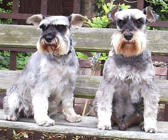 Dogs with beards