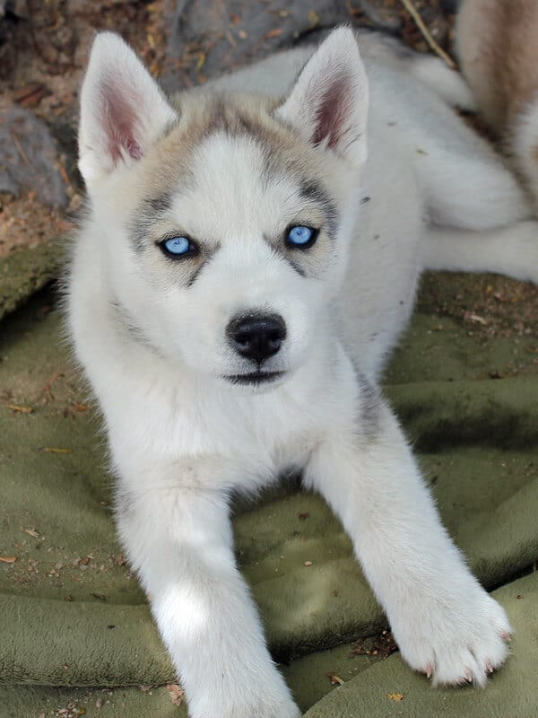 8 Fascinating and Charming Blue eyed Dogs Siberian husky
