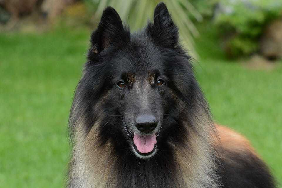Different Types of Shepherd Dogs