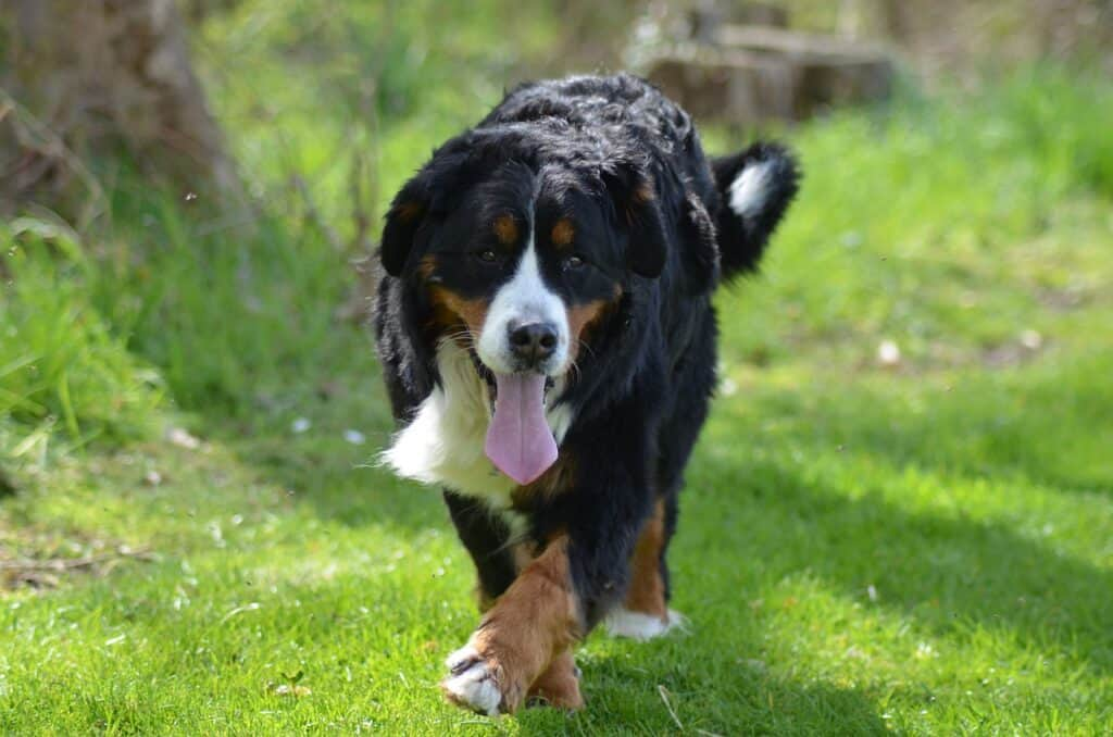9 Best Giant Dog Breeds