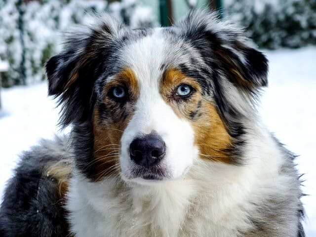 8 Fascinating and Charming Blue eyed Dogs Australian Shepherd