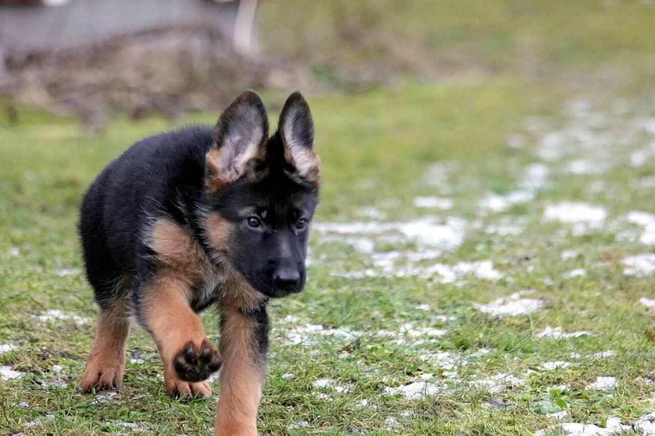 German Shepherd Temperament A Few Things You Should Know