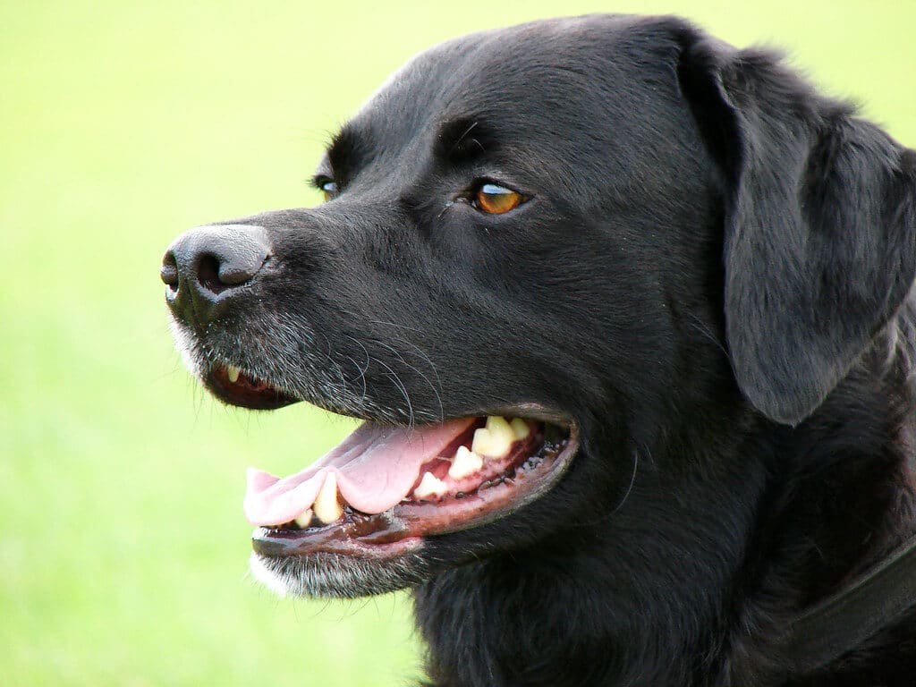 Largest Dog Breeds That Are Good Human Companions