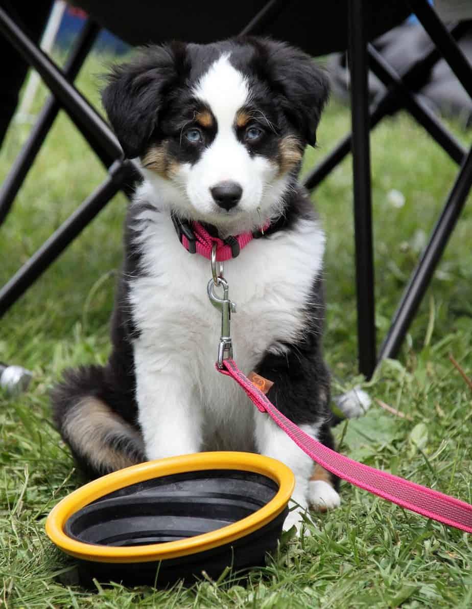 Border Collie puppy price
