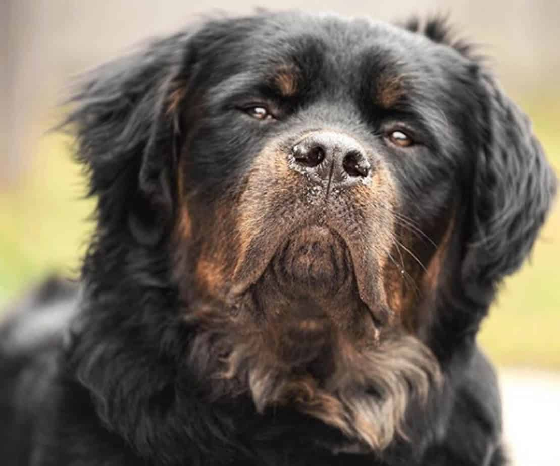 Things You Should Know About Long Haired Rottweiler