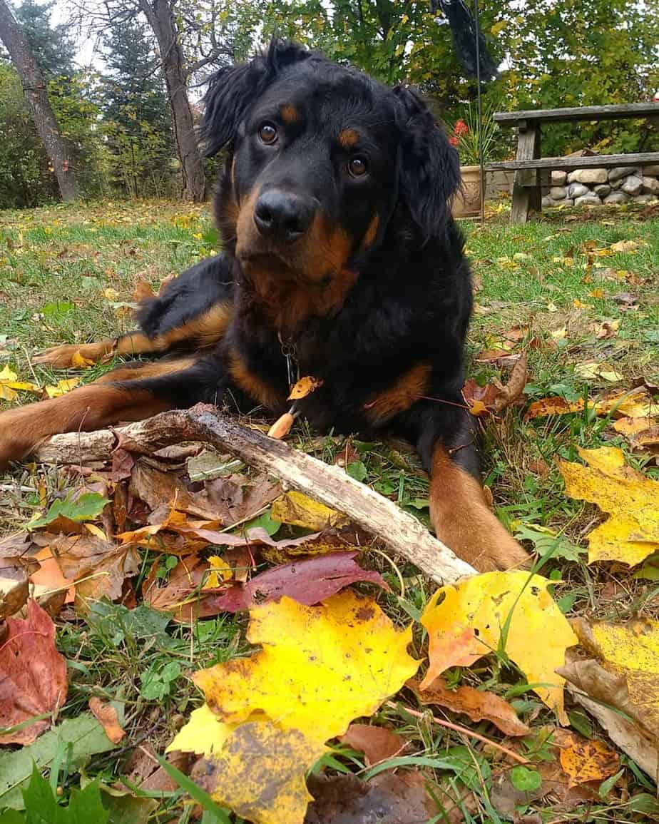 Beautiful Long Haired Rottweiler