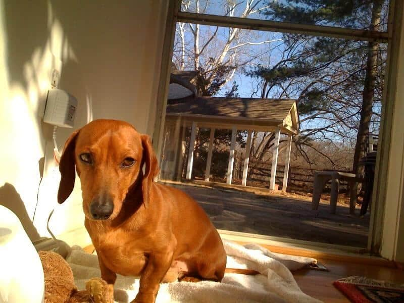 Temperament, Facts, And Information Of The Dachshund Dog
