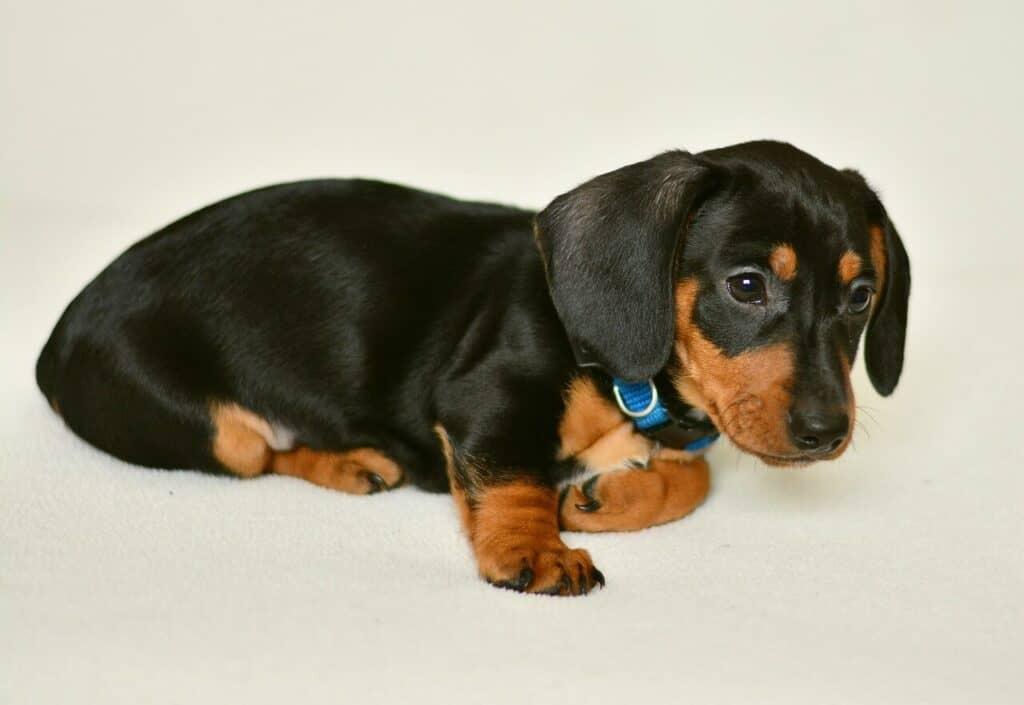 Dachshund dog information and temperament
