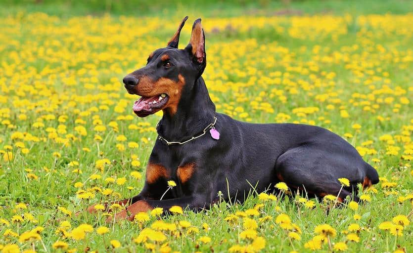 Top 10 Most Dangerous Dog Breeds Around The World