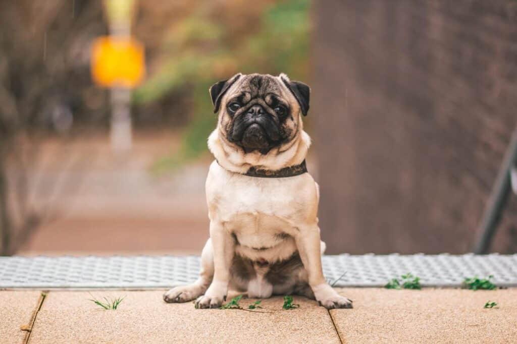 Most cutest dog breeds