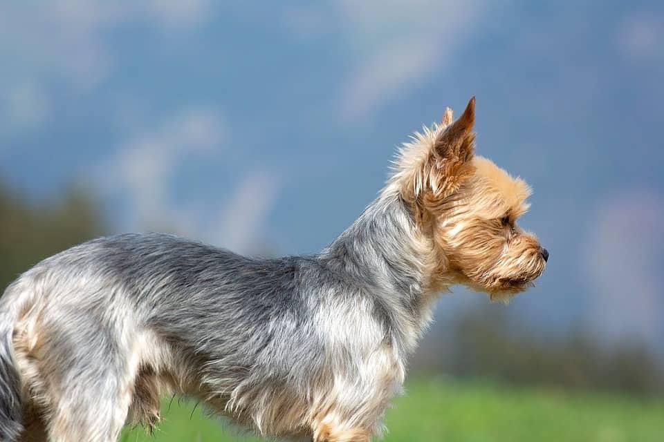 Smallest Dog Breeds Around The World