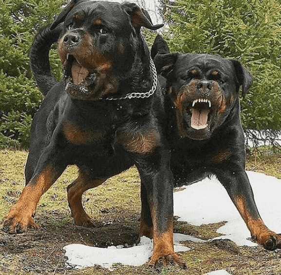 Top 6 Common Myths About Rottweilers