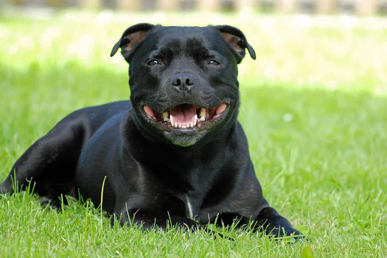 A List Of Different Types of Pitbulls