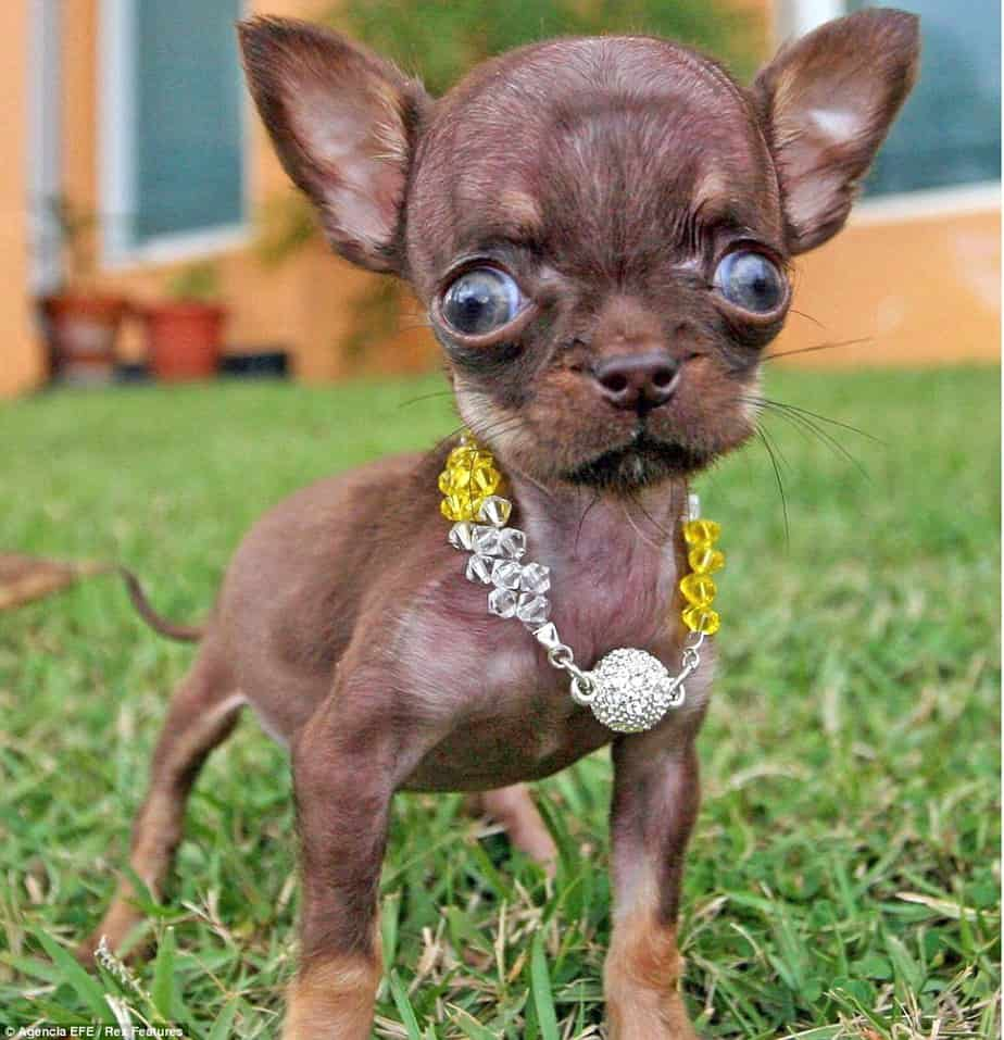 Worlds smallest dog Milly Chihuahua