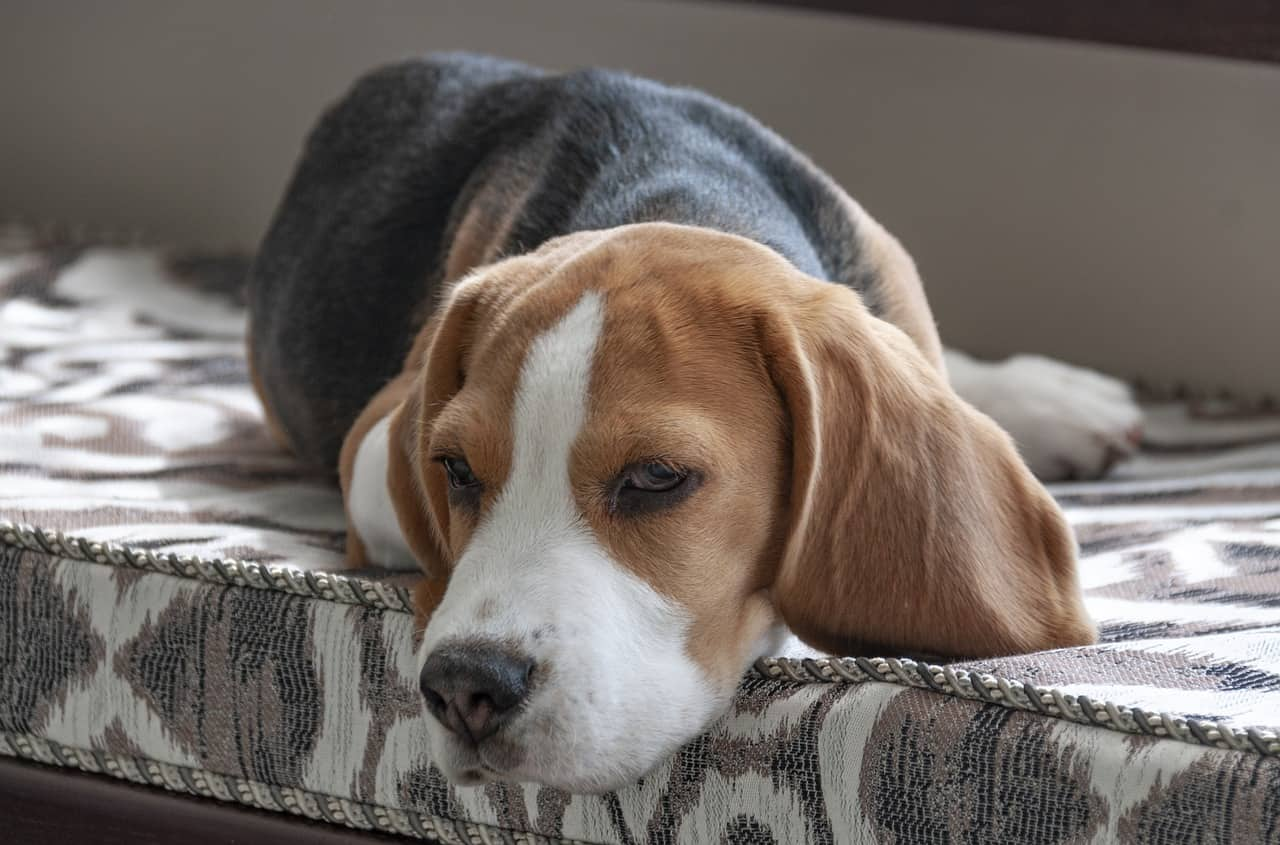 Dog Vomiting Causes treatment And Related Symptoms