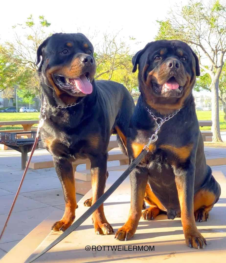 Roman Rottweiler   Information And Some Interesting Facts