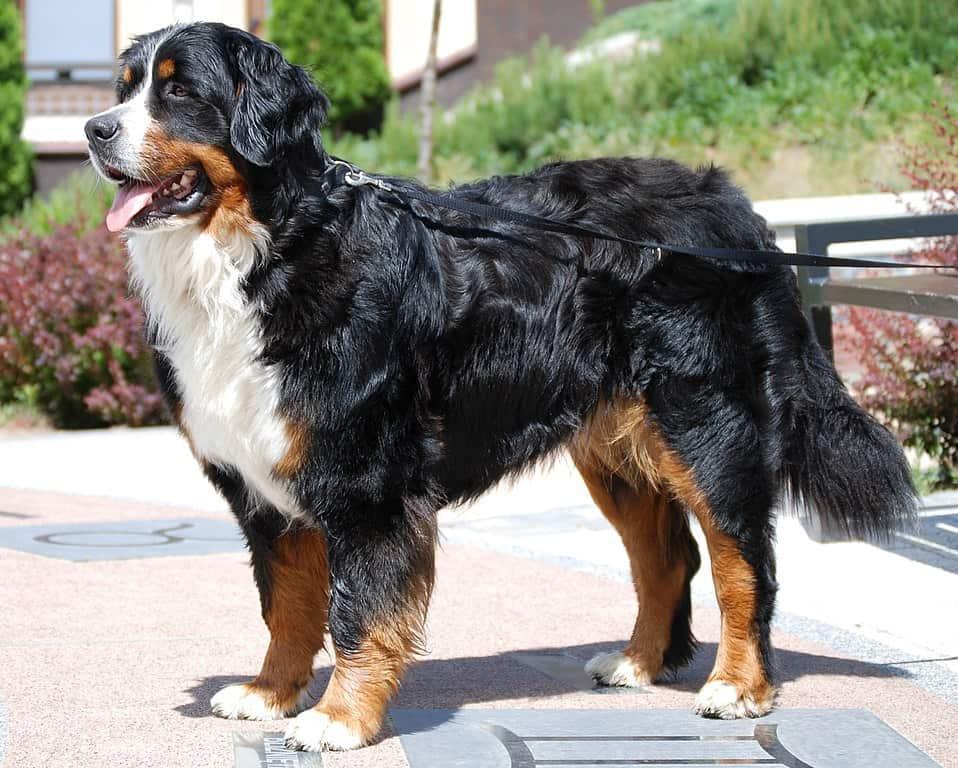 Bernese Mountain Dog big fluffy dog