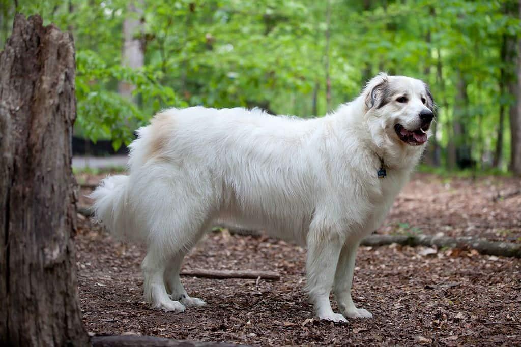 Pyrenees Mountain Dog giant fluffy dog