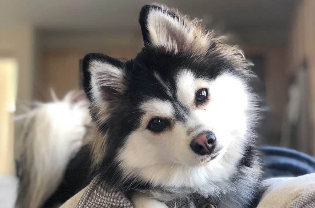 10 Beautiful Dogs That Look Like Wolves