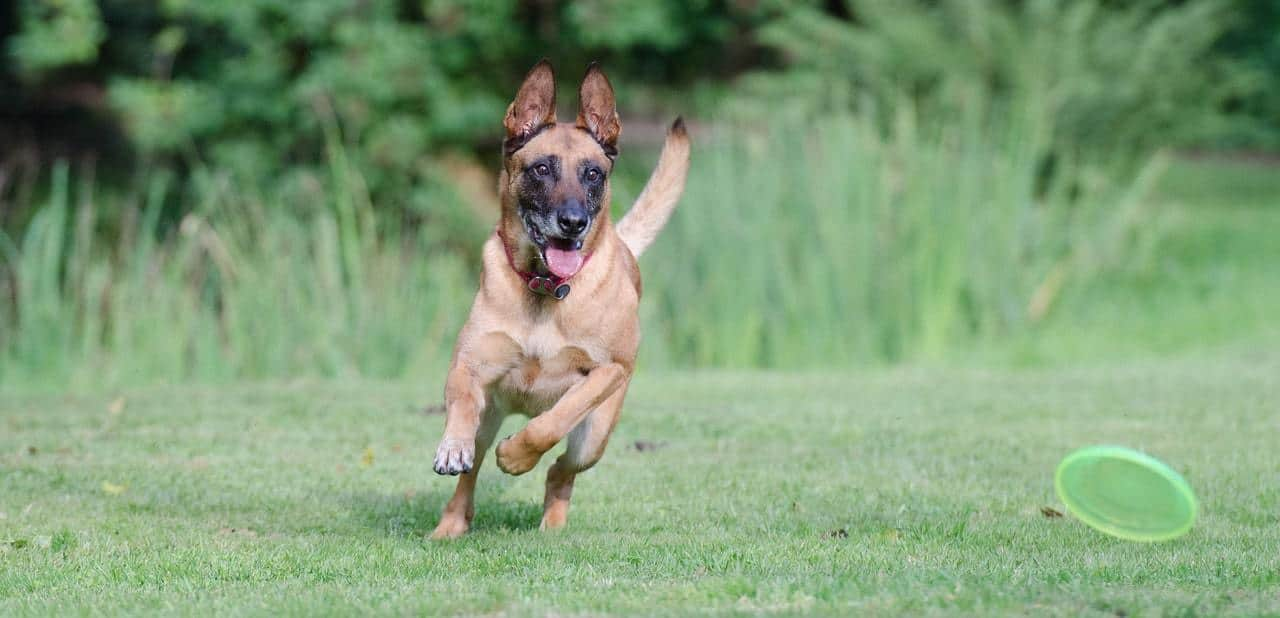 Belgian Malinois Dog Breed Information, characteristics, Facts, Pictures