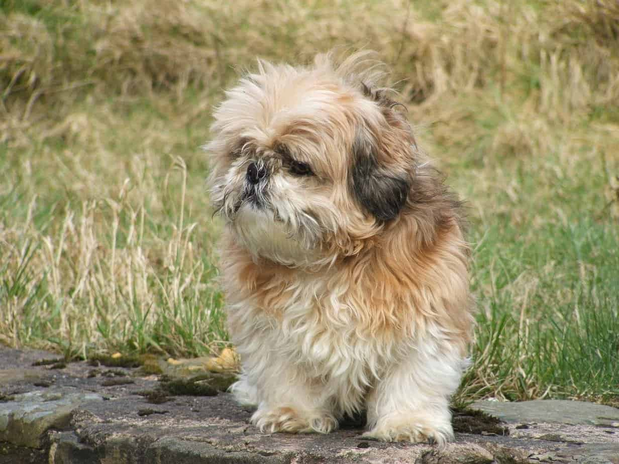 Shih Tzu Small fluffy dog breeds