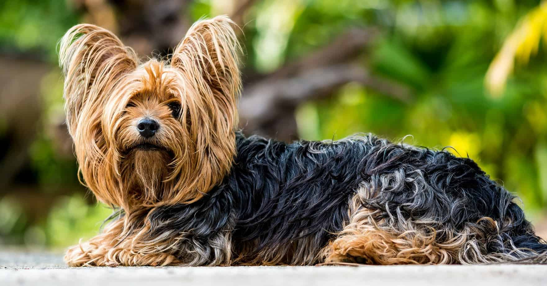Yorkshire Terrier small fluffy dog