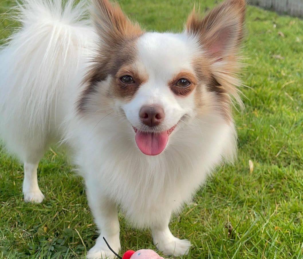 Pomchi dog breed