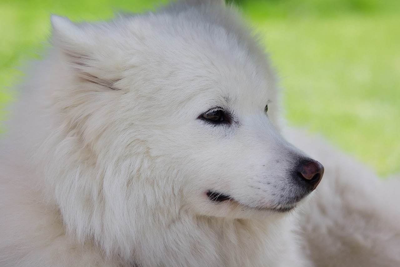 9 Awesome Russian Dog Breeds That Came From Russia