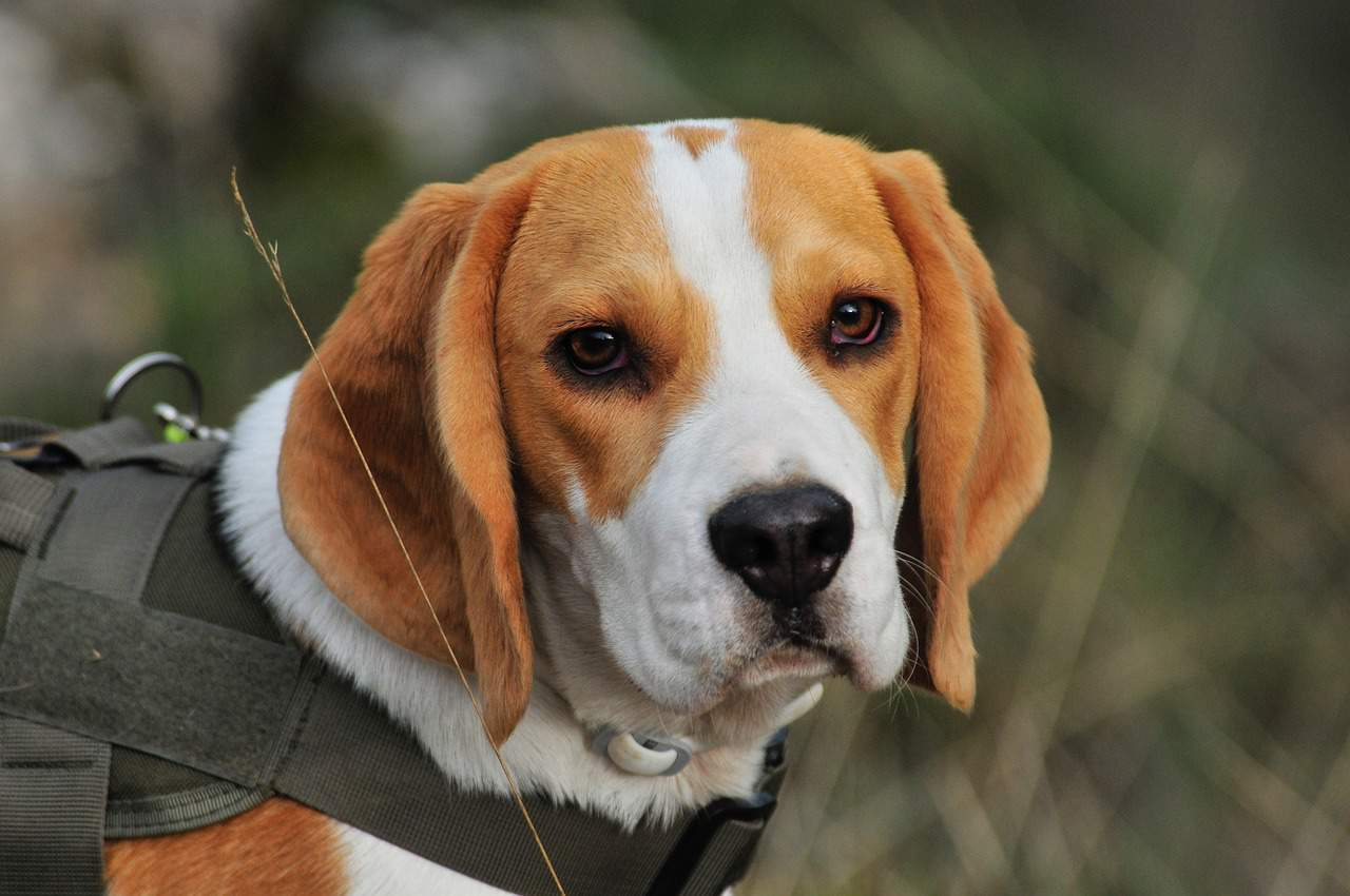 Beagle Dog Breed Information, Characteristics, Photos, Facts