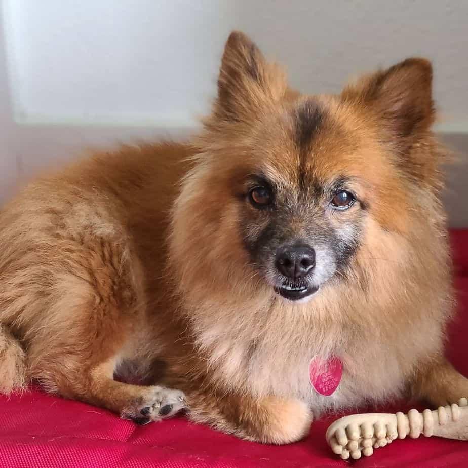 Pomeranian Chihuahua Mix Dog pomchi dog breed