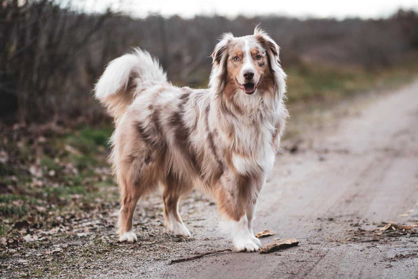 Appearance of Australian shepherd dog
